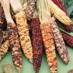 Granturco geneticamente modificato (Zea mays L.)