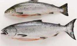 Il salmone a crescita rapida può raggiungere le dimensione